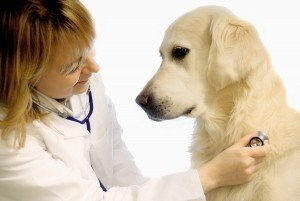 Veterinarian examining golden retriever dog